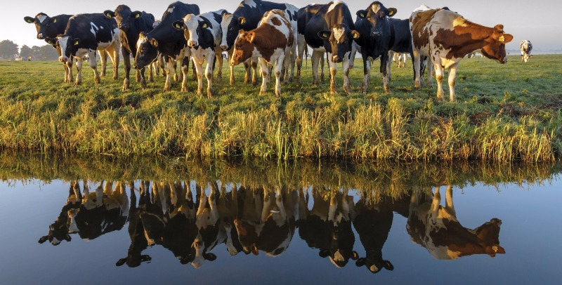Image above but with reflection on pond at the ranch.  Cows love selfies!