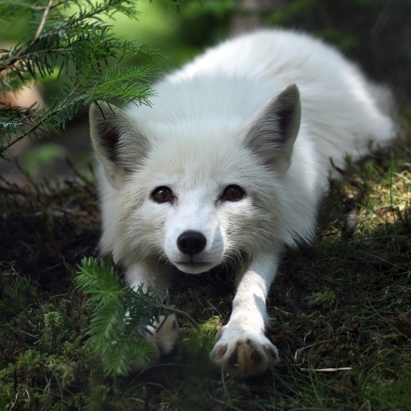 Arctic fox stretching after a nap.