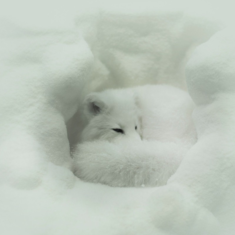 Arctic fox keeping warm.