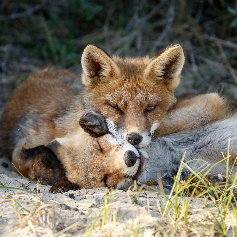 Two young foxes playing around.