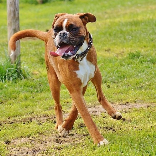 Boxers need lots of exercise