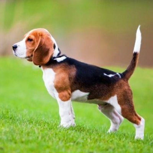 Beagle teenager