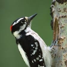 Woodpeckers are awesome, but they come with a lot of noise.